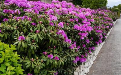 Wat is het voordeel van een rhododendron haag?
