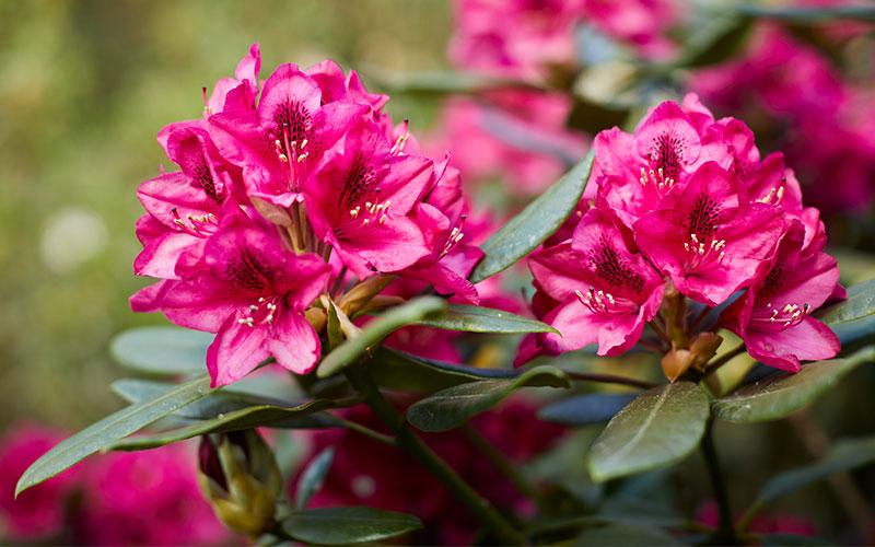 Rhododendron kwekerij Nova Zembla Over Ons
