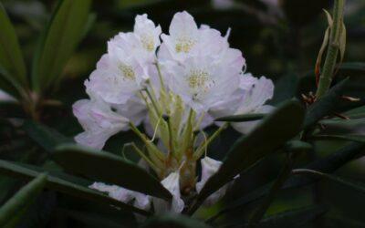 Een rhododendron snoeien. Moet dat?