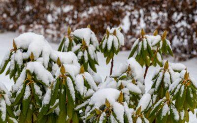 Kan een rhododendron tegen strenge vorst?