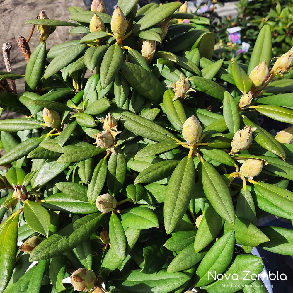 Rhododendron Caroline Allbrook knop