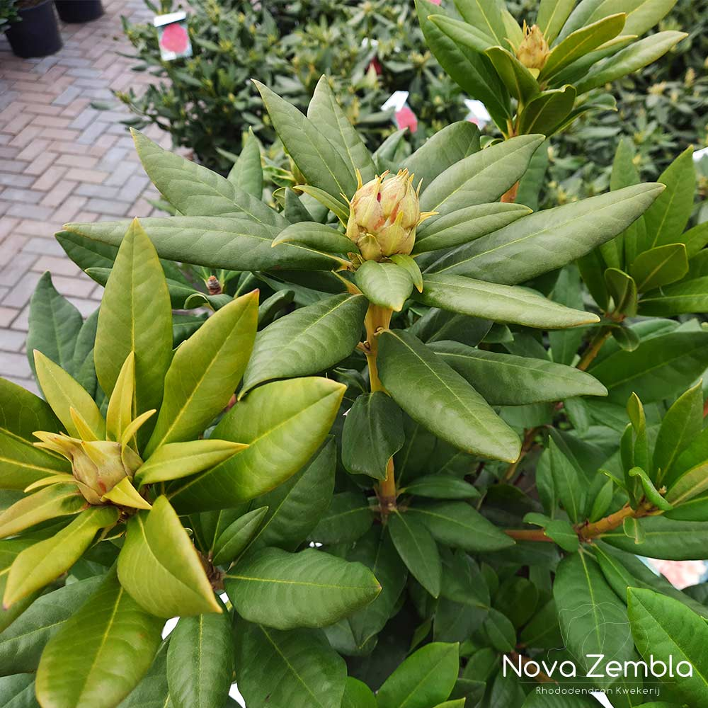 Rhododendron Cosmopolitain knop