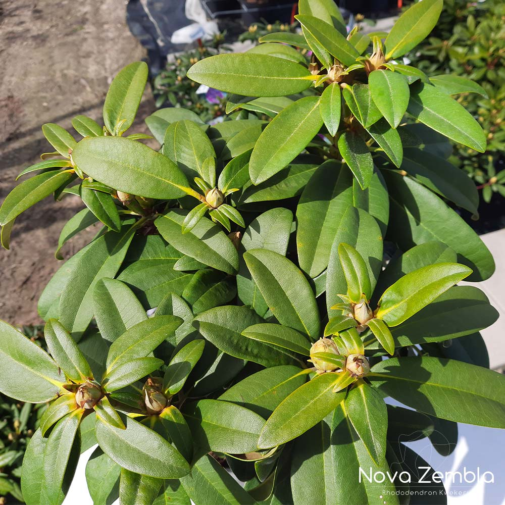 Rhododendron Doc knop