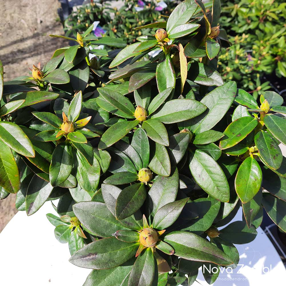 Rhododendron Safrano knop
